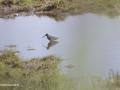 watersnip2