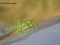 grote groene sabel sprinkhaan